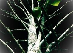 Petit_140418_arbre_nit_145