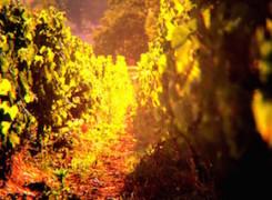 Posta a la vinya